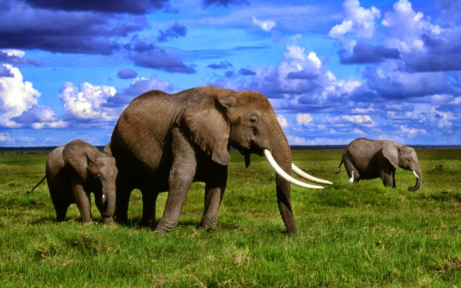 african elephants hd wallpapers free hd wallpapers