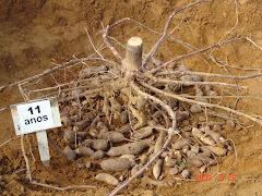Planta de imbuzeiro aos 11 anos