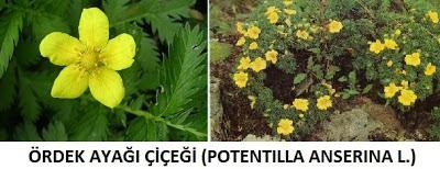 ördek ayağı, ördek ayağı bitkisi, ördek ayağı çiçeği, ördek ayağının faydaları, ördekayağı otu