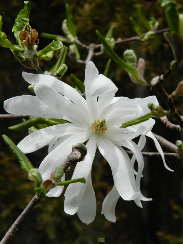 Magnolia stellata Star magnolia by garden muses-not another Toronto gardening blog