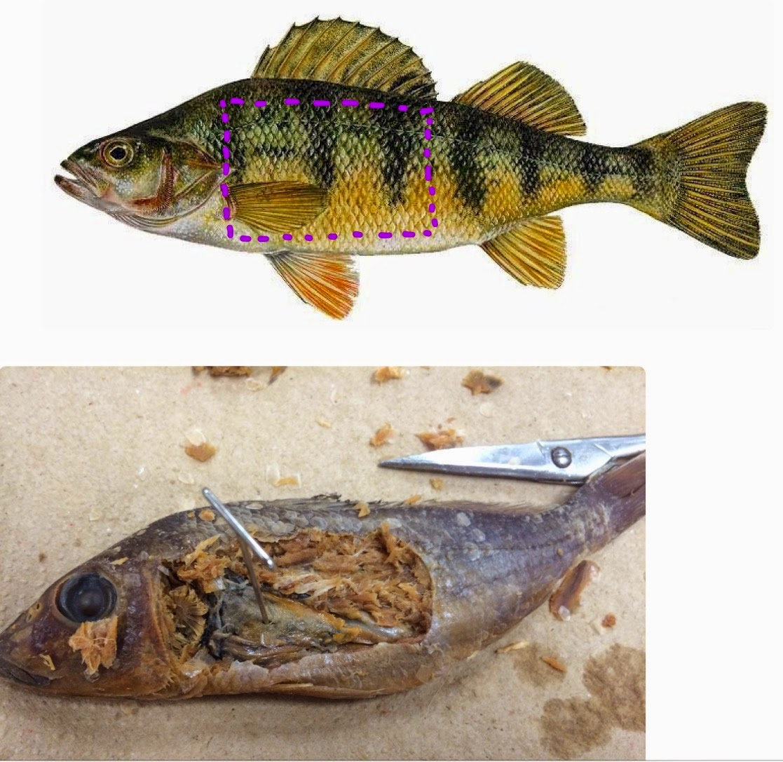 ALM^2: Perch Fish Dissection