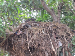 Hammerhead Storks kissing, South Sudan Hotel, Bor
