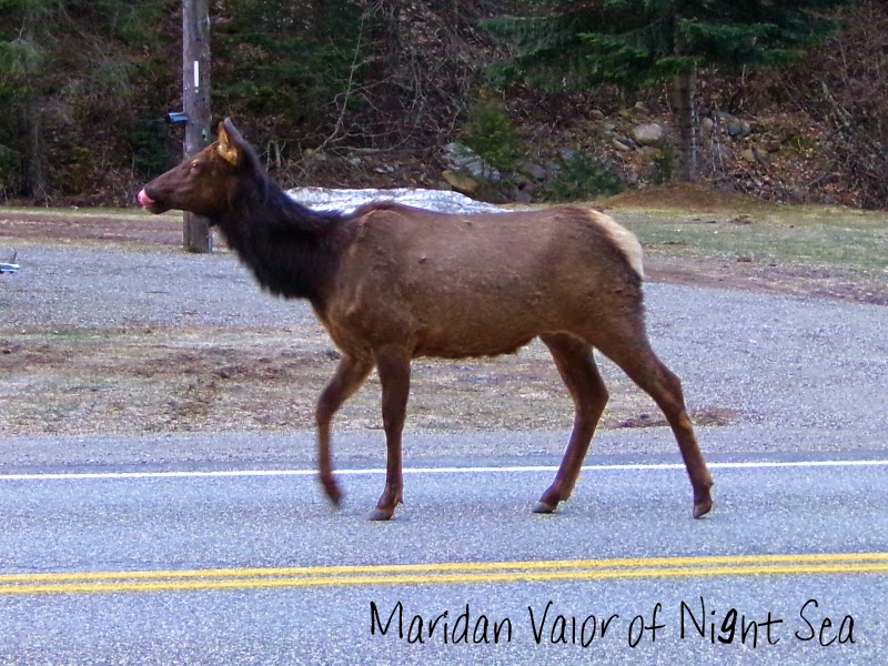 Elk on the loose pictures; Off it goes, down the road. An elk on it's morning walk. See more on the blog.