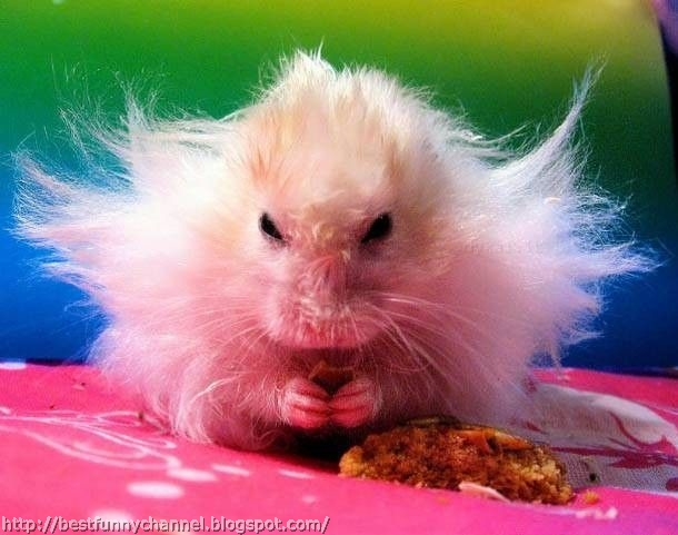 Cute and funny pictures of animals 65. Hamsters.