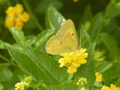 male clouded sulphur