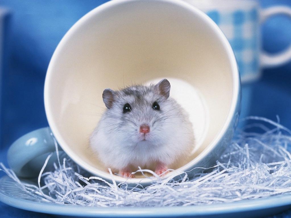hamster wallpapers funny animals. Black Bedroom Furniture Sets. Home Design Ideas