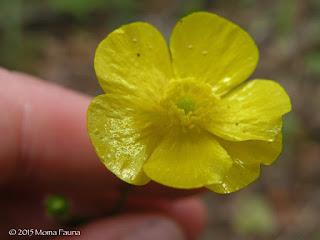 Buttercup (Ranuculus, spp.)