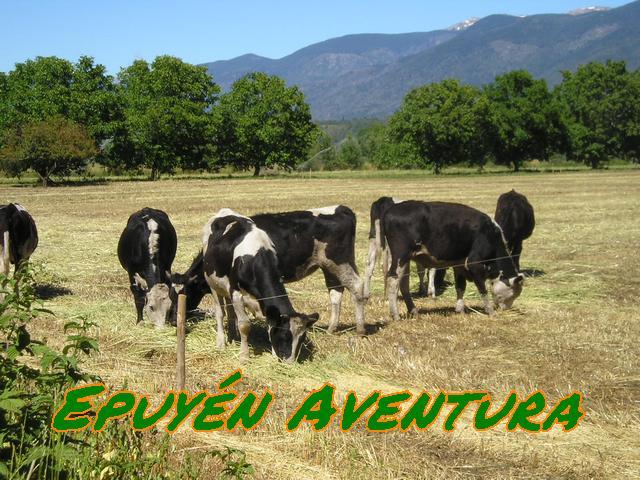 Patagonia Andina - Campo con vacas