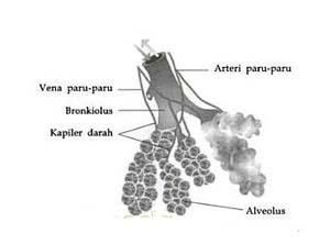 Gambar paru paru