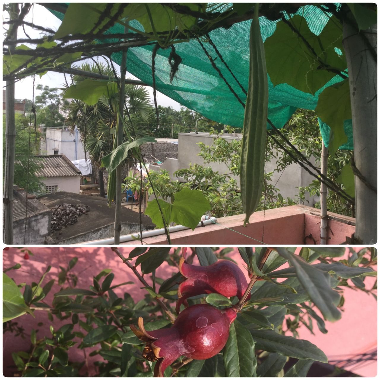 Terrace gardening september 2015 first ridge gourd pomegranate of the season solutioingenieria Image collections