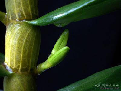 Botões florais da orquídea Dendrobium Stardust