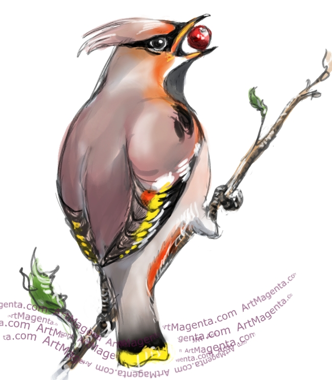 Bohemian Waxwing sketch painting. Bird art drawing by illustrator Artmagenta