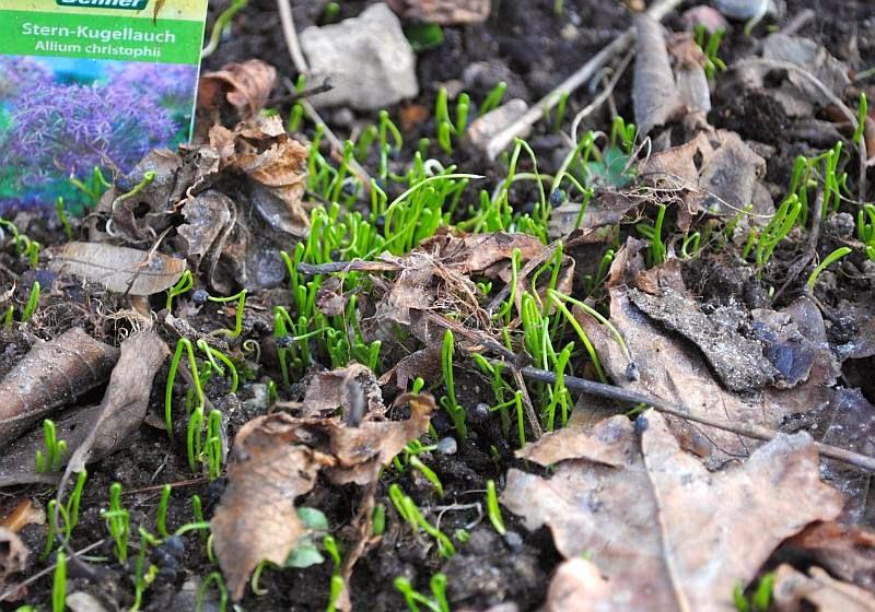 [Bild: Allium+christophii_20140215.jpg]