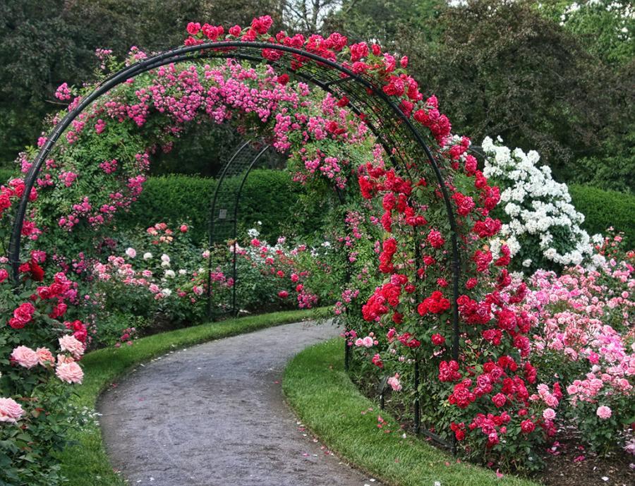 Bem bom rosas trepadeiras for Most beautiful garden trees