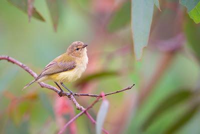 Burung mini paling kecil didunia