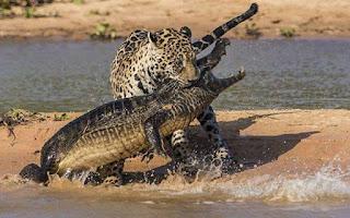 grappige foto: alligator en tijger gevecht