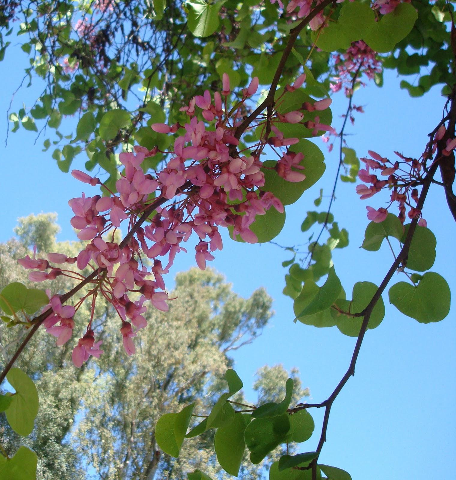 Elarbolmiamigo encinarosa rbol del amor ciclamor - Arbol de rosas ...