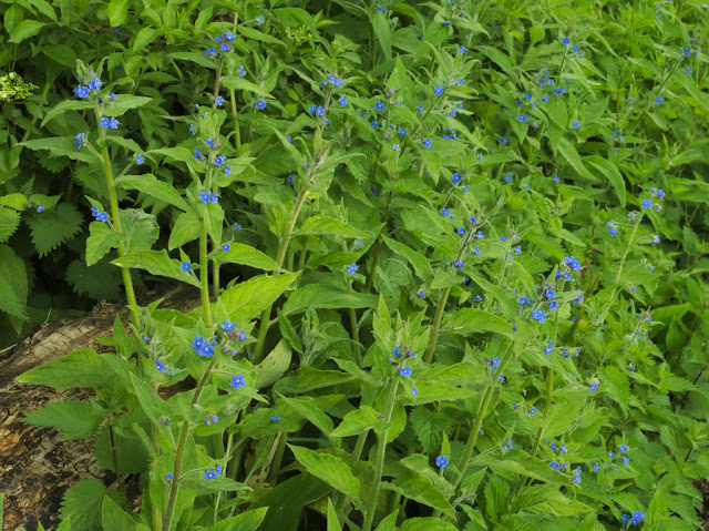 Luxuriant growth of green alkanet growing over a log