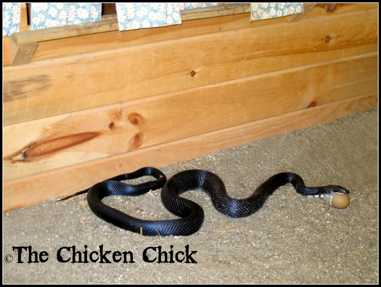 Eastern Black Rat snake- taking his lunch to-go!