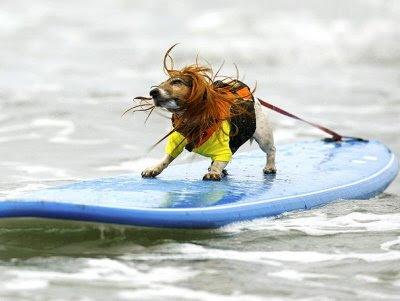 Cão praticando surf