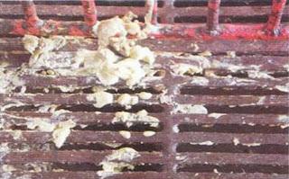Phân heo con tiêu chảy màu kem