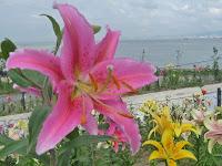 大阪湾を臨む最高のロケーションに200万輪のゆりの花。