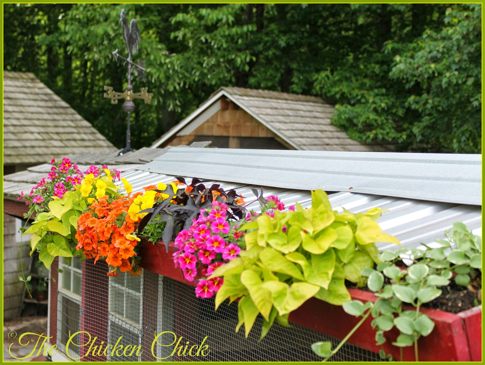contrary to popular belief it is possible to have flowers and plants adorning the chicken - Garden Examples Photos