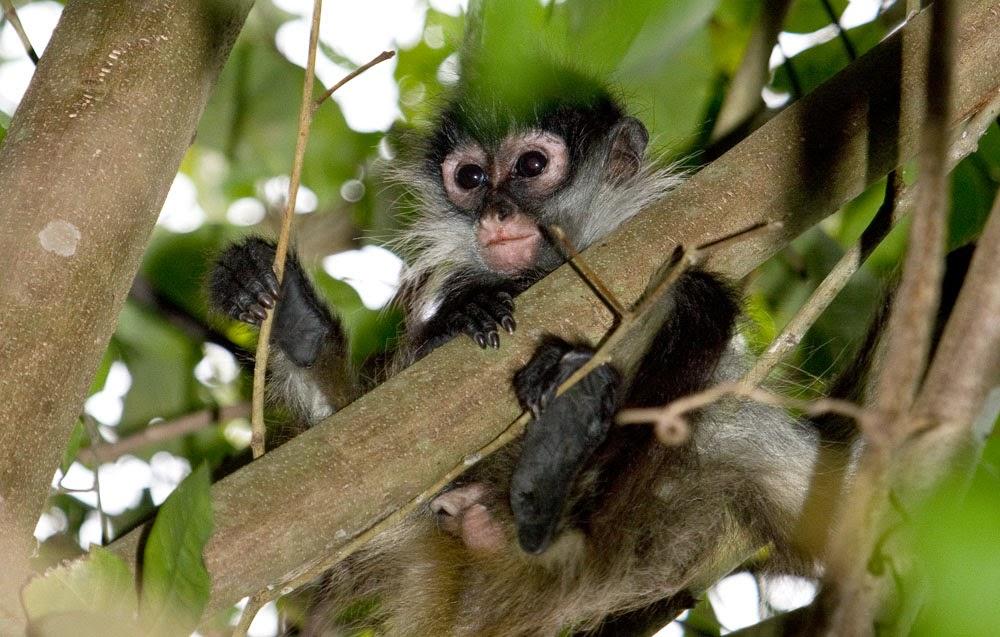 Cute Baby Spider Monkeys Cute Little Spider Monkey