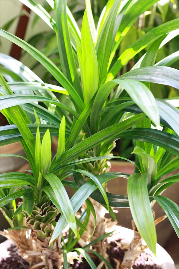 Pandan leaves or screwpine, growing in a pot at home