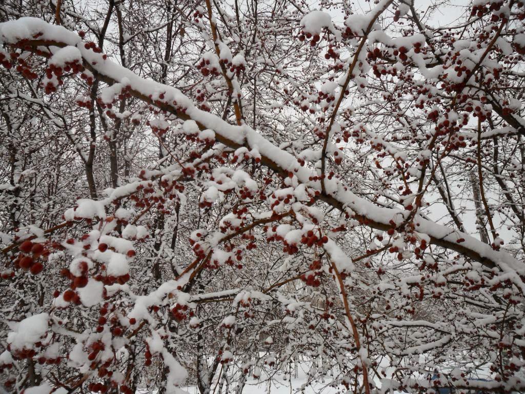 Дикие ранетки являются неплохой подкормкой птичкам в тяжелую зимнюю пору! И очень красивы!