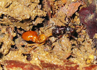 An Odontoponera ant dragging a Macrotermes malaccensis major soldier