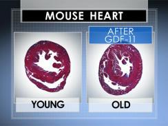 Jantung Tikus Tua dan Muda Setelah Pemberian Hormon GDF-11