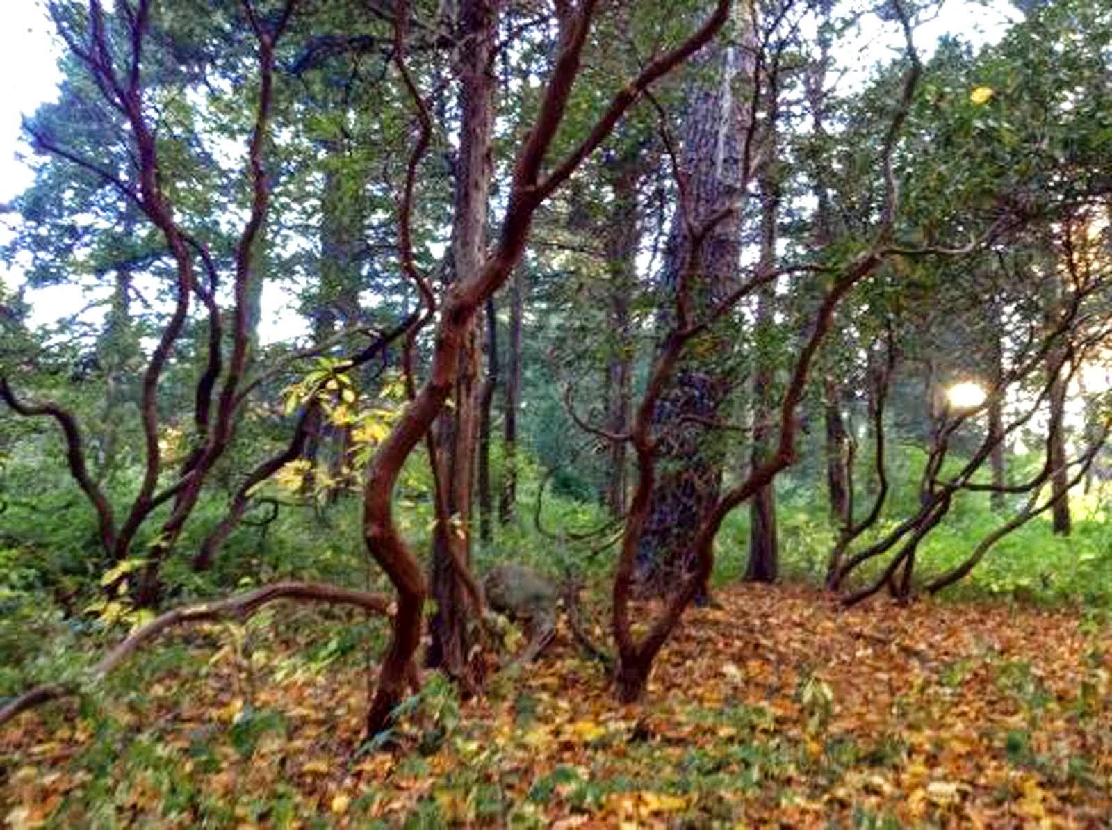 Kalmia (Fall)