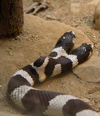 two headed snakes 06