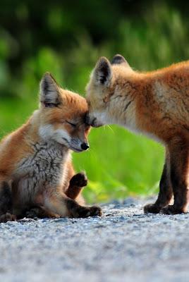 amor de raposas