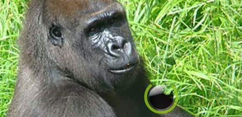 Seekor gorilla betina yang menyelamatkan anak 3 tahun dari gorila lain