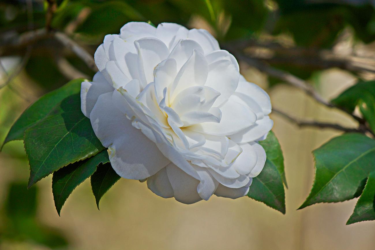 white camellia - photo copyright Allison Beth Cooling