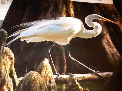 great egret Reelfoot Lake by Mike Serkownek