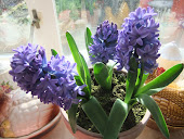 Dark Blue Hyacinth