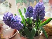 Dark Blue Hyacinth