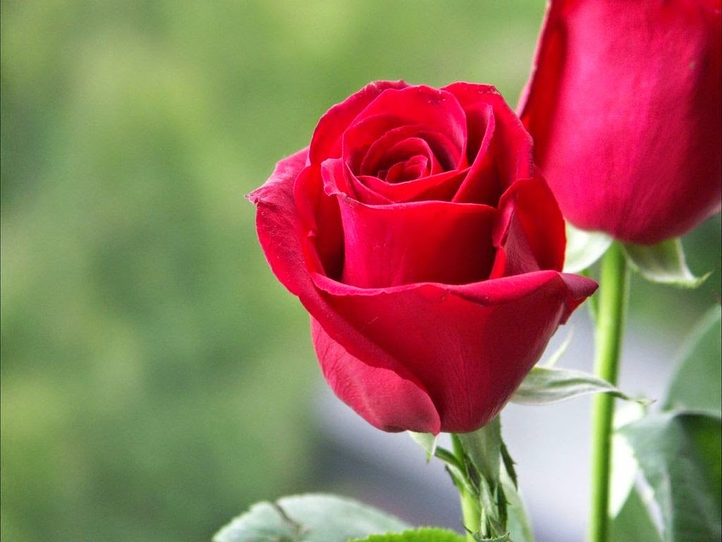 I Love Red Rose Wallpaper