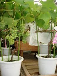 cara menanam anggur, budidaya anggur, cara menanam anggur dalam pot