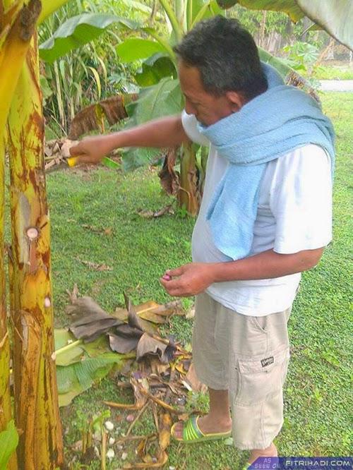 (Tips) Cara Tanam Bawang Dalam Pokok Pisang