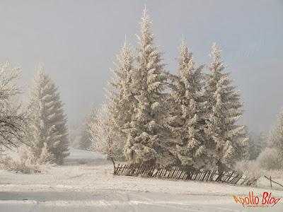 Copaci cu chiciura