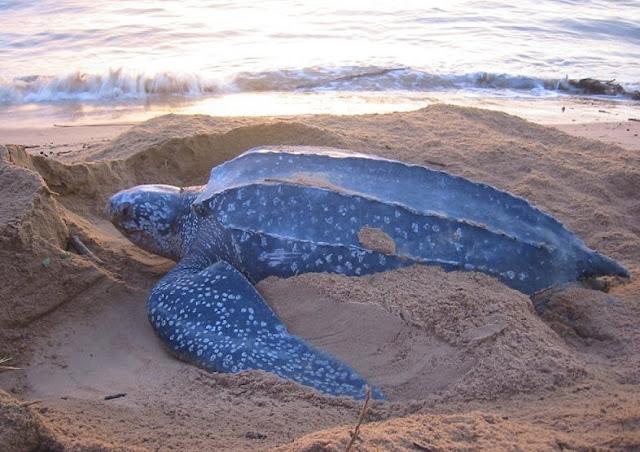 Leatherback turtle