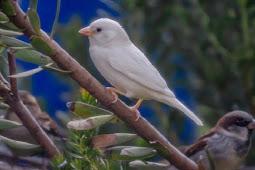 Langka, Burung Pipit Ini Berwarna Putih