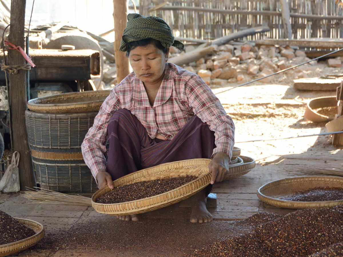 Woman sifting plum kernels in Min Nan Thu village at Nyaung U near Bagan, Myanmar