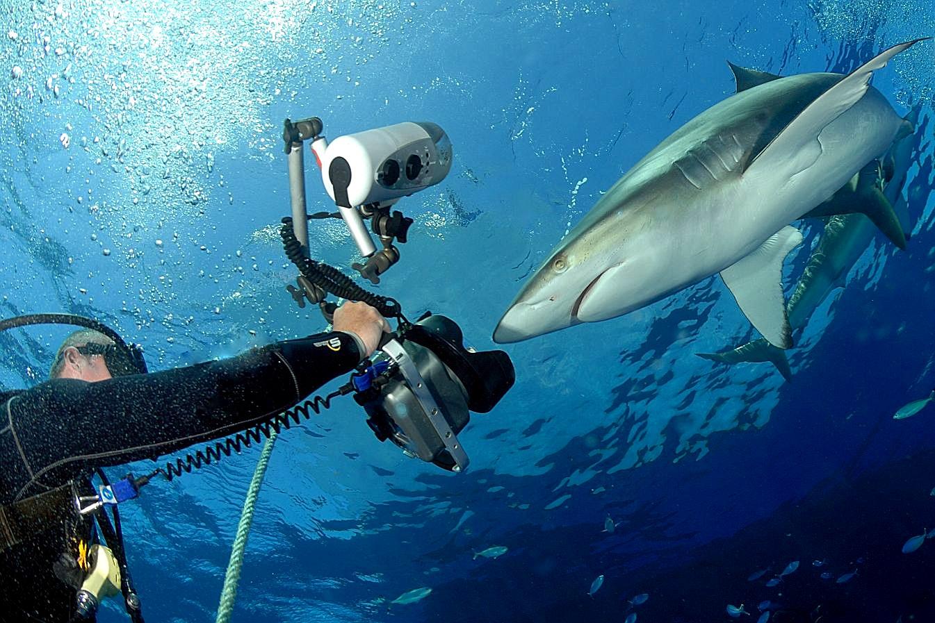 Grey reef shark vs bull shark - photo#13