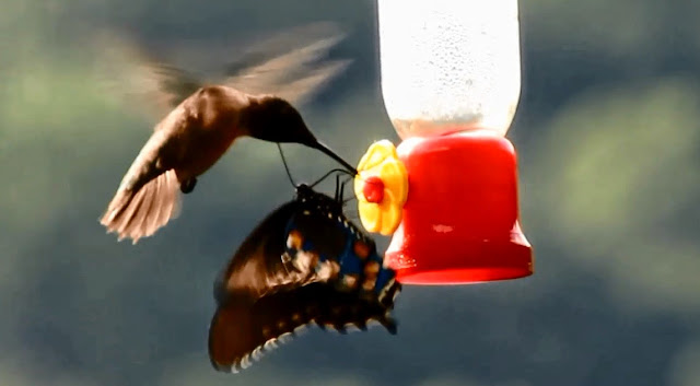 Swallowtail Butterfly Dominates Ruby Throated Hummingbird