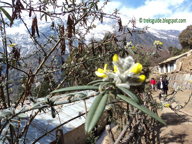 Flowers in Gokyo Trekking